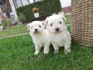 ,maltézske šteniatka psík a fenka