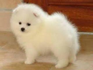 ,Pomeranian šteniatka na Vianoce