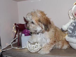 ,Havanské bichónové šteňa