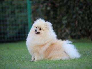 ,Pomeranian- prodám fenku s PP