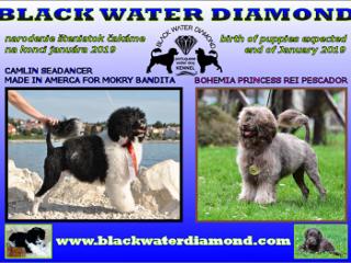 ,Šteniatka Portugalský vodný pes - poslední dvaja psíkovia voľní