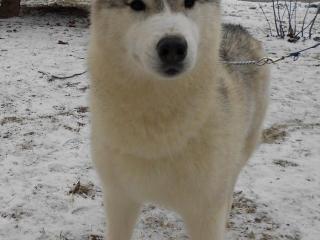 ,Siberian Husky na predaj