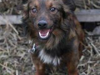 ,Hulk mini psí kamarát do dobrej rodiny kríženec