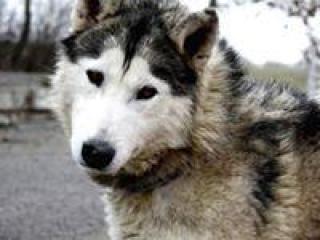 ,Kamil nádherný psíček husky