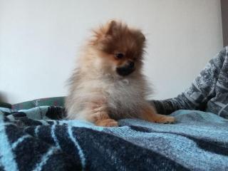 ,Pomeranian- prodám pejska s PP