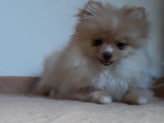 ,Pomeranian- prodá holčičku s PP
