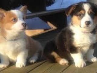 ,Rozkošné Pembroke welsh corgi šteniatka na predaj.