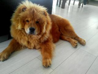 ,Ponúkam psa Čau-čau na krytie