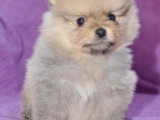,Pomeranian šteňatá