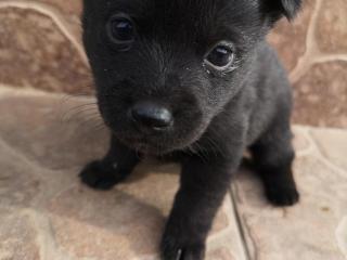 ,Predám Shiba inu psíky