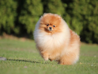 ,Pomeranian, prodám pejska s PP