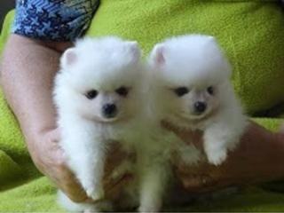 ,Pomeranian