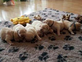 ,Labrador šteniatka s PP