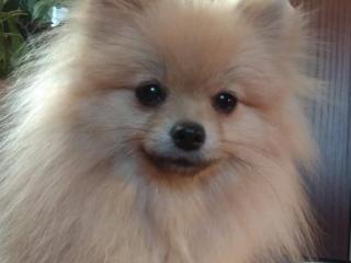 ,Pomeranian- prodám fenečku s PP