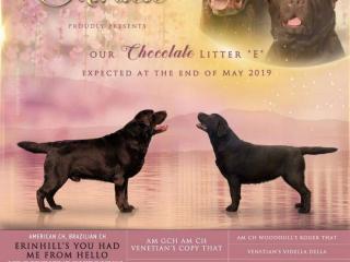 ,Šteniatka čokoládového labrador rettievera s PP