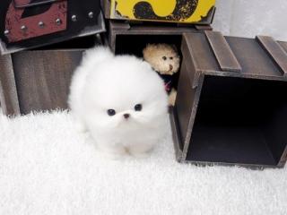 ,Štěňátka Pomeranian s PP (FCI)