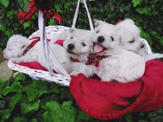 ,West Highland Terrier (Westies) Šteniatka na predaj