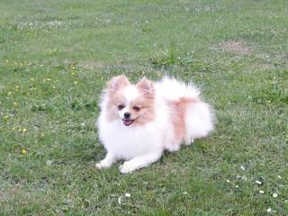 ,Pomeranian, prodám fenečku s PP