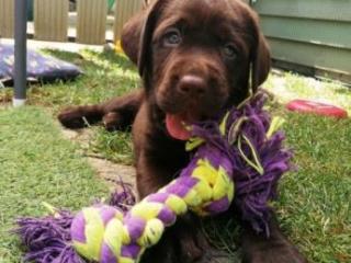 ,Labrador – čokoládové šteniatka s PP