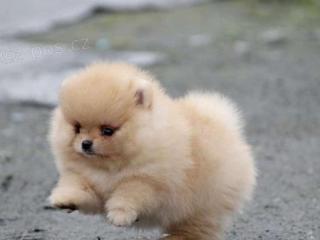 ,Pomeranian štěňátka s pp