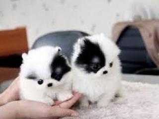 ,Pomoranské šteniatko