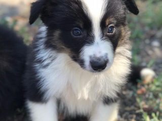 ,Border Collie puppies