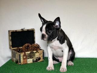 ,Boston terrier puppies