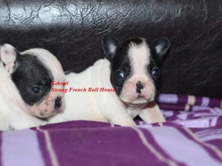 , French bulldog puppies