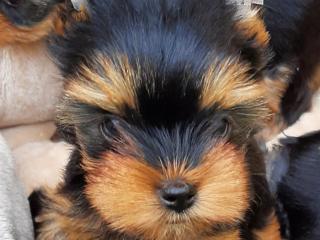 ,Yorkshire terrier