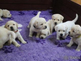 ,Labrador - šteniatka s preukazom pôvodu s PP