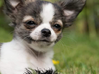 ,Čivava šteniatka samčieho psa