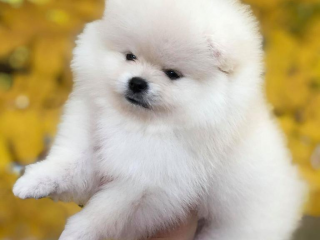 , Pomeranian puppy for sale