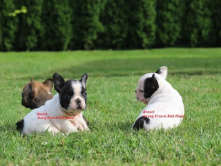 , French bulldog