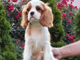 ,Cavalier king charles spaniel puppies