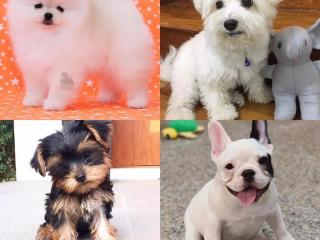,Šálka Pomeranian, Yorkshire a Maltskej šteňatá teraz k dispozícii