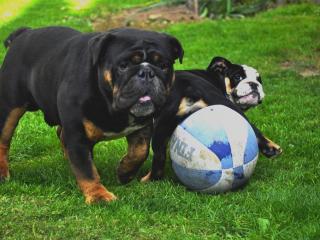 ,Anglický buldog,buldok,bulldog