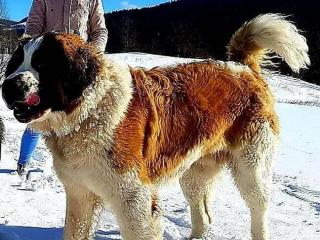 ,Moskovský strážny pes - chovný pes na krytie