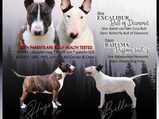 ,Bullterrier puppies