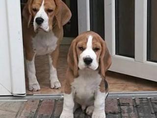 ,Bígl /beagle/ - šteniatka s PP