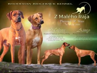 ,Rhodesian Ridgeback s PP - šteniatka