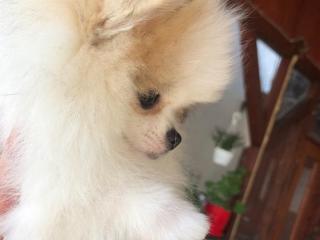 ,Pomeranian spitz female na predaj