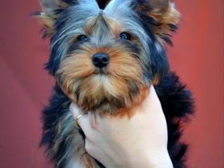 ,Yorkshire terrier - psík s PP
