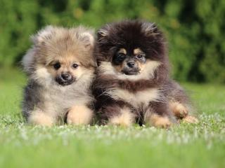 ,Pomeranian, prodám mladé pejsky s PP