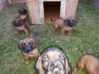 ,šteniatka Bavorského farbiara