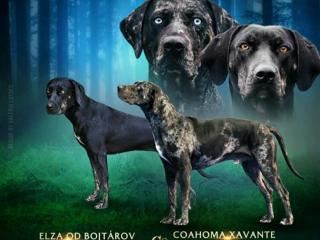 ,Plánujeme šteniatka Louisianský leopardí pes Catahoula