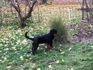 ,Rotvajler šteňatá