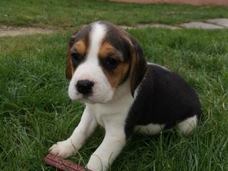 ,bígl, bígel, beagle