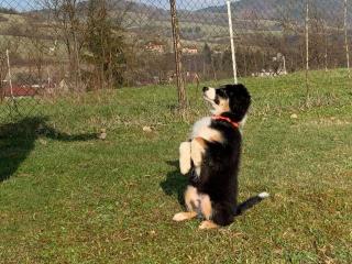 ,Ponúkam venčenie a stráženie psíka