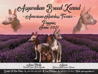 ,American Hairless Terrier - Asgardian Breed Kennel - free for reservation