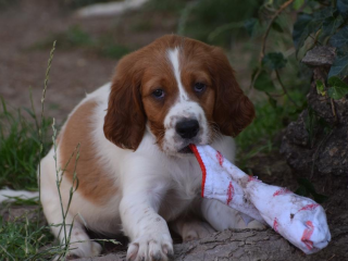 ,Írsky seter červenobiely - šteniatka